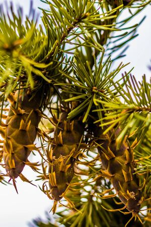 Douglas fir tree branch with cones on autumn. Closeup. Stock Photo