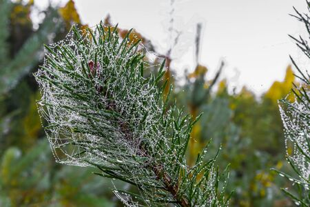 Christmas tree with raindrops and spider web can be used as background.