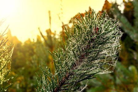 coniferous forest: Árbol de Navidad con gotas de lluvia y telaraña se puede utilizar como fondo. Foto de archivo