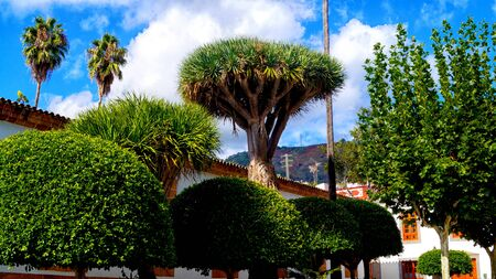 Dragon tree (Dracaena draco) in Arucas town center of Gran Canaria island, Spain. Beautiful blue sky with white clouds and white houses on background.
