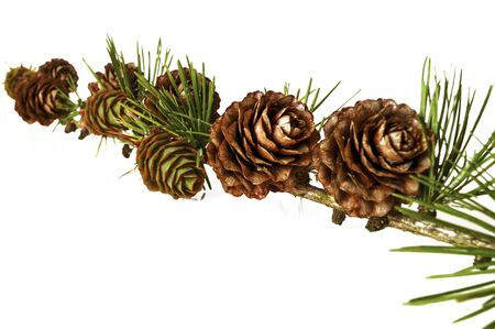 Christmas decoration - bunch of european larch tree (Larix) with larch cones isolated on white background.