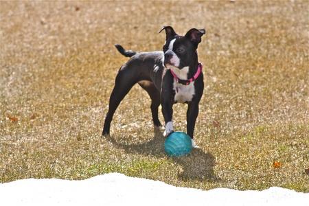 boston terrier: Boston Terrier Stock Photo