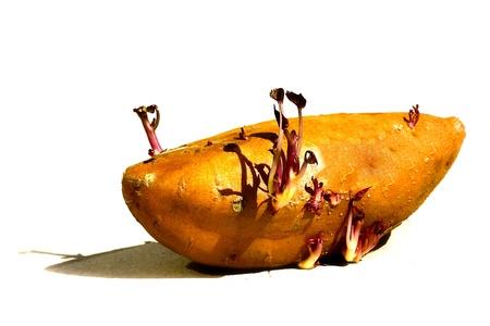Sprouting Sweet Potato