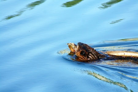Beaver in Lake with tree limb