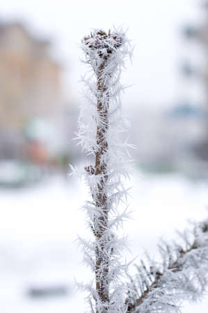 Hoarfrost on the top of tree with bokeh background. Stock Photo