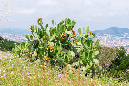 Cactus at Montjuic hill in Barcelona, Spain.