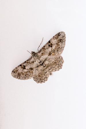 Moth butterfly on white wall. Stok Fotoğraf