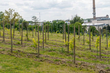 Young grapevines at grapevine park on the hill in Zielona Gora, Poland.