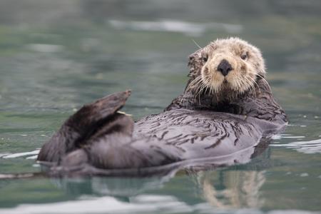 otter: A sea otter floats in Resurrection Bay near Seward, Alaska