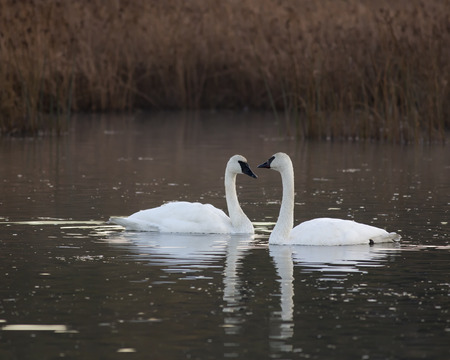 anchorage: Trumpeter swans migrating through Potter Marsh, south of Anchorage, Alaska.