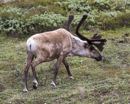 denali: Caribou in Denali National Park Alaska.