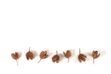 Beech husks isolated on white background. Stock Photo