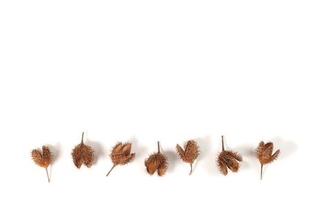 Beech husks isolated on white background. Stock Photo - 11819930