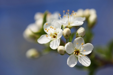Spring tree branch with white flowers closeup.