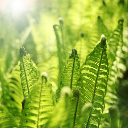 Young fern leaves abstract with sunny light.