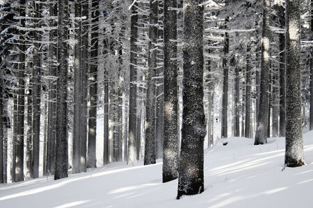 snowlandscape: Cold morning winter forest scene
