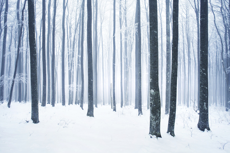 foggy: Winter snowy and foggy beech forest scene.