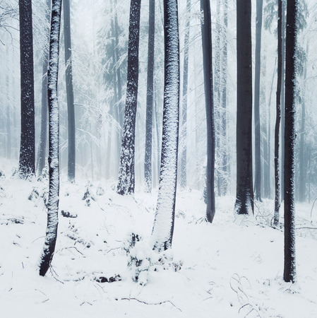 crist: Winter foggy beech and spruce forest scene.