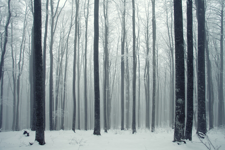 woods: Winter foggy beech forest scene.