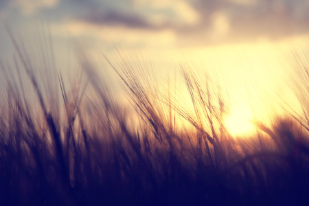 country landscape: Spiritual golden wheat field with sunset. Vintage filter effect used.