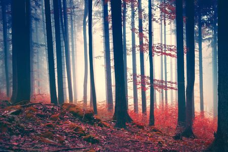 autumn colors: Vintage magic red colored foggy forest scene. Color filter effect used. Stock Photo