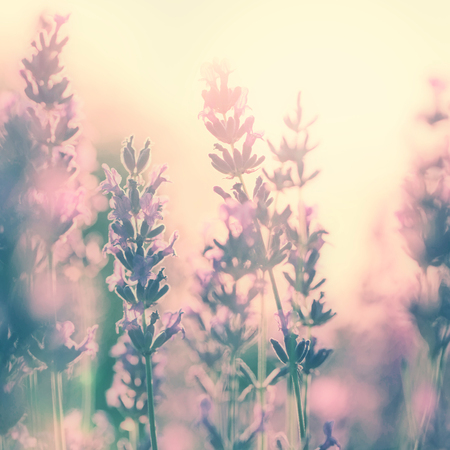 magenta flowers: Beautiful vintage lavender flower photo in sunset. Retro color effect used. Stock Photo
