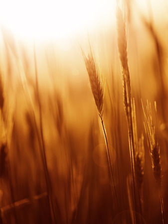 barley seeds: Vintage sunny marsala color blurred barley field with sun flare. Selective focus used. Marsala color used. Stock Photo
