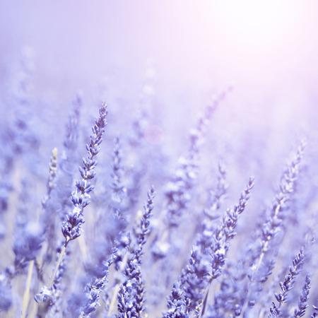 turquesa: Flores de lavanda turquesa violeta vintage Primer plano. Efecto de filtro utilizado vendimia. Enfoque selectivo utilizado.