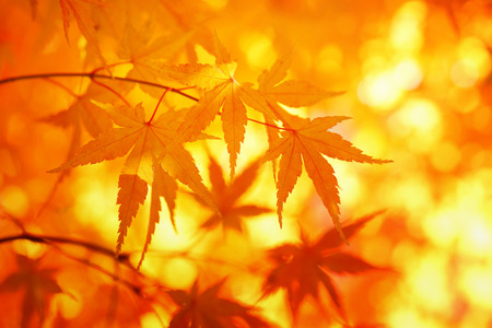 Colorful sunny autumn maple leaves. Stock Photo