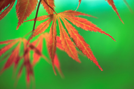 acer: Colorful blurry autumn leaves with green background (selective focus used).