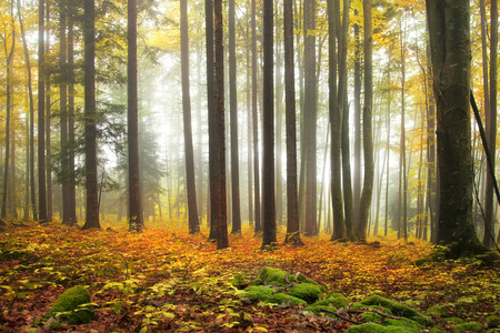 Colorful autumn foggy forest scene. Filter color effect used. Stock Photo