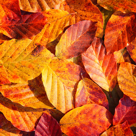 beech leaf: Autumn colorful beech leaf background.