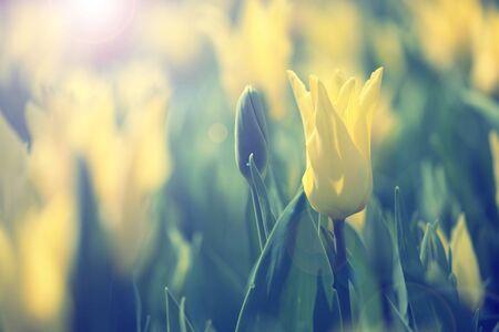 Hermosa soleado fondo amarillo tulipanes de color borrosa con la flama del sol. Enfoque selectivo utilizado. Foto de archivo