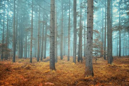 Bosque de con�feras so�adora hermosa. Efecto de filtro de color utilizado.
