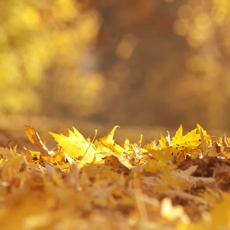 Golden autumn leaves on the ground.