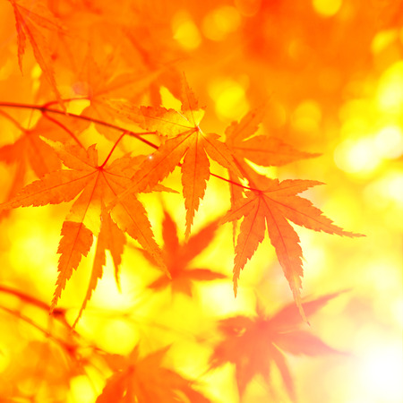 Fantasy acer autumn tree leaves background.