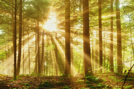 Mystic forest with morning sun ray light.