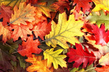 Colorful oak autumn tree leaves background.