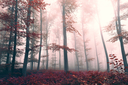 Beautiful red colored foggy fantasy forest landscape with mystic light. Red color filter effect used.