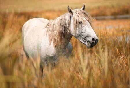Camargue caballo blanco, Provenza al sur de Francia.
