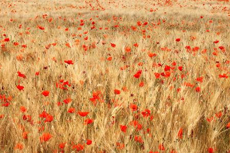 Campo de trigo de oro con flores de amapolas rojas.