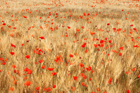 Golden wheat field with red poppies flower. Stock Photo