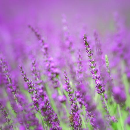lavande: Beautiful sunny lavender flowers closeup background. Stock Photo