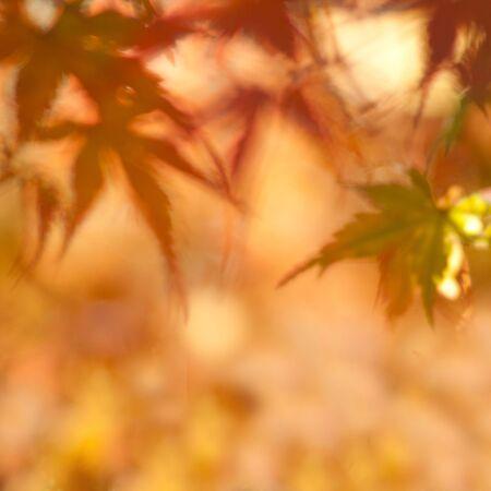 Autumn maple leaves with very shallow focus. Foto de archivo