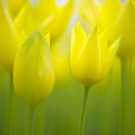 Hermosas borrosas amarillas coloridas flores de tulip�n de primavera. Enfoque selectivo utilizado.