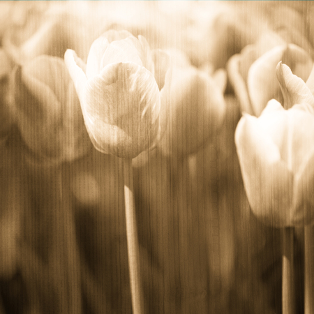 buff: Grunge blurry artistic oak buff color tulips spring flower background. Selective focus used. Stock Photo