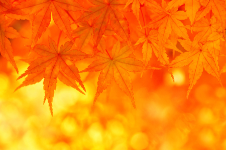 fall leaves: Golden autumn maple leaves.
