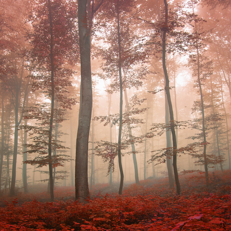 dreamy: Dreamy autumn foggy forest scene. Red color filter effect used.