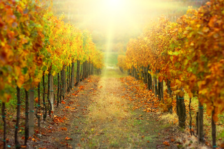 Autumn vineyard with afternoon sunbeams.