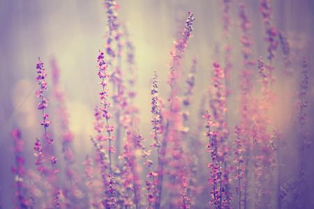 아름 다운 흐린 꽃 시골 바이올렛 컬러 초원 꽃입니다. 선택적 포커스를 사용합니다.